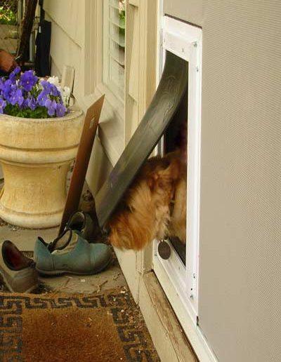 Here is a dog going through the new dog door in the sliding screen door.